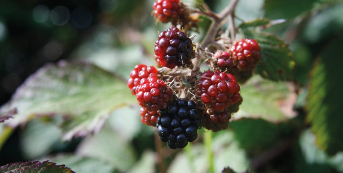 Wild Berries on Mile