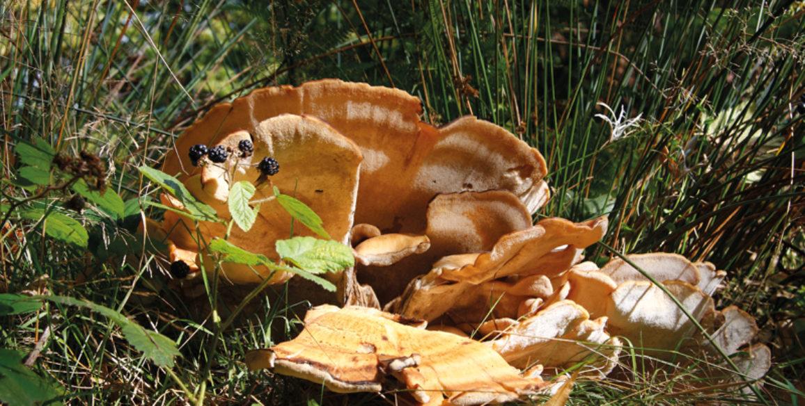 Large Wild Mushroom
